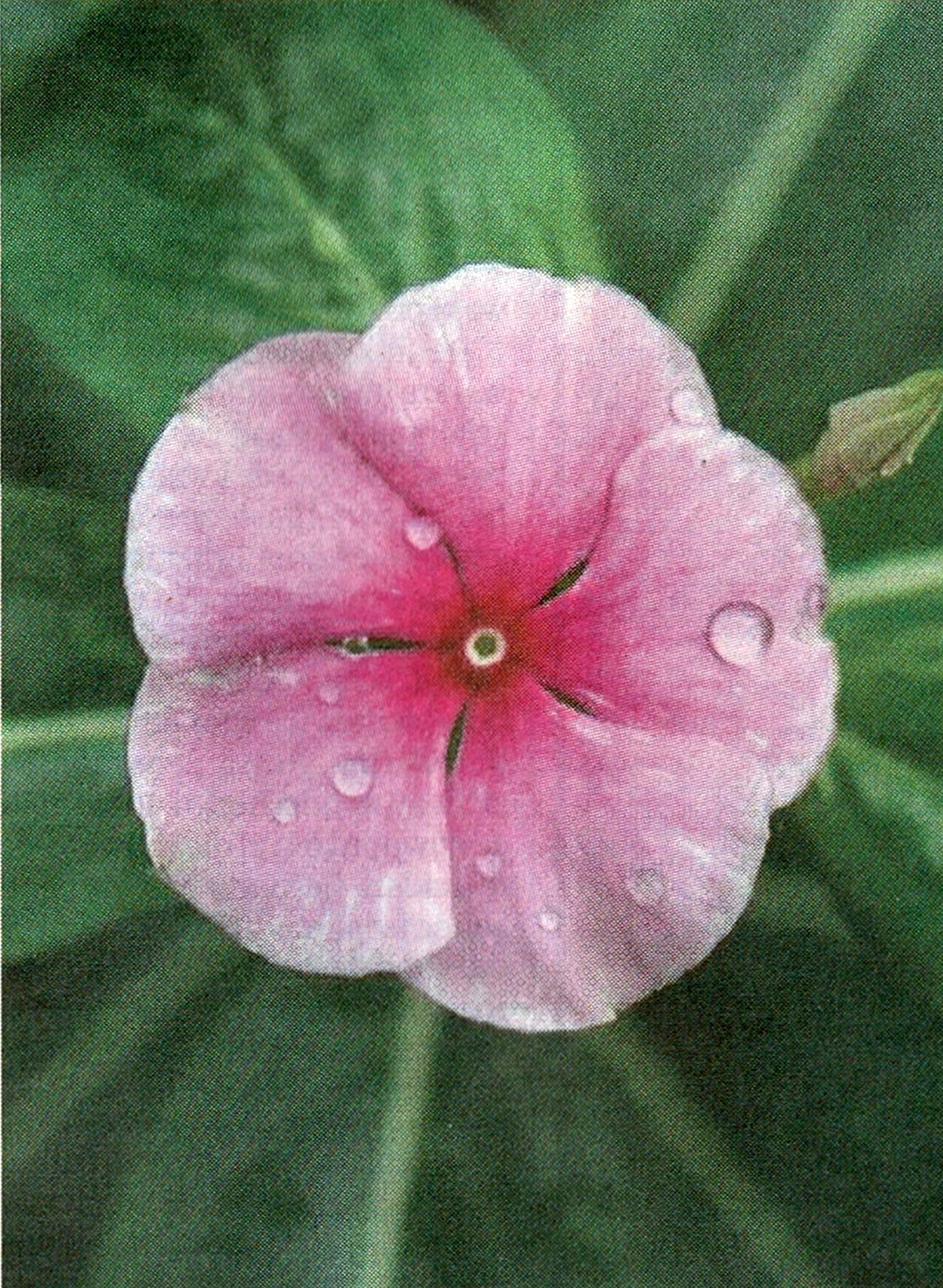 maagdepalm roze.jpg